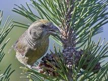 Papageiengegenwechsel Loxia pytyopsittacus Lizenzfreie Stockfotos