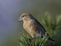 Papageiengegenwechsel Loxia pytyopsittacus Stockfoto