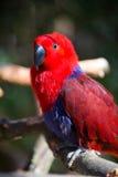 Papageienporträt des Vogels Szene der wild lebenden Tiere von der tropischen Natur Lizenzfreie Stockfotografie