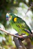 Papageienporträt des Vogels Szene der wild lebenden Tiere von der tropischen Natur Lizenzfreies Stockfoto