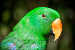 Papageienporträt des Vogels Szene der wild lebenden Tiere von der tropischen Natur Stockfotografie