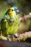 Papageienporträt des Vogels Szene der wild lebenden Tiere von der tropischen Natur Lizenzfreie Stockbilder