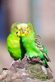 Papageienporträt des Vogels Szene der wild lebenden Tiere von der tropischen Natur Lizenzfreie Stockfotos