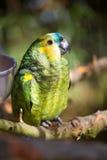 Papageienporträt des Vogels Szene der wild lebenden Tiere von der tropischen Natur Stockfoto