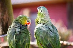 Papageienporträt des Vogels Szene der wild lebenden Tiere von der tropischen Natur Lizenzfreies Stockbild