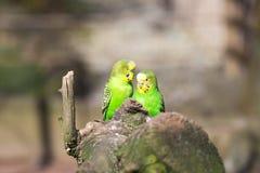 Papageienporträt des Vogels Szene der wild lebenden Tiere von der tropischen Natur Stockfotos