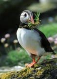 Papageientaucher Lizenzfreies Stockbild