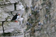 Papageientaucher, der auf einem Felsen sitzt lizenzfreies stockbild