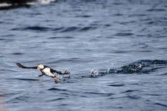 Papageientaucher, der vom Wasser in Svalbard sich entfernt Lizenzfreie Stockfotos