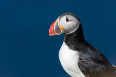 Papageientaucher an einem schönen Tag in Nord-Island Lizenzfreies Stockfoto