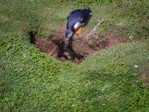 Papageientaucher entdeckte einen Eindringling nahe bei seinem Nest stockfoto