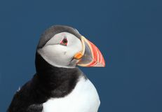 Papageientaucher - Fratercula arctica Lizenzfreies Stockfoto