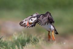 Papageientaucher im Flug, Farne-Inseln, Schottland lizenzfreie stockfotos