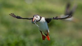 Papageientaucher im Flug, Farne-Inseln, Schottland Lizenzfreie Stockfotografie