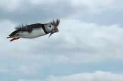 Papageientaucher im Flug mit Sandaalen Lizenzfreie Stockfotografie