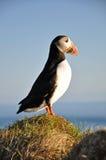 Papageientaucher, Island Lizenzfreie Stockfotografie