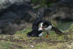 Papageientaucher-Kämpfen stockbild