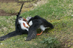 Papageientaucher-Kämpfen Stockbilder