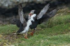 Papageientaucher-Kämpfen Stockfotos