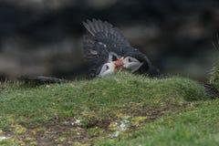 Papageientaucher-Kämpfen lizenzfreie stockbilder