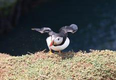Papageientaucher-Landung Stockbilder