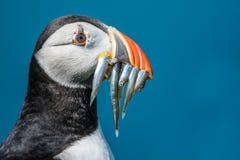 Papageientaucher mit Sandaalen Stockfotografie