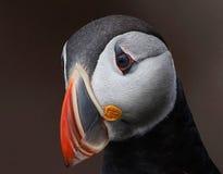 Papageientaucher-Porträt Lizenzfreies Stockbild