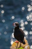 Papageientaucher steht auf einem Felsen, Island Lizenzfreie Stockbilder