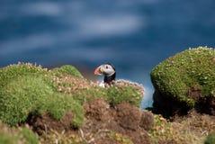 PapageientaucherFratercula arctica Stockfotografie