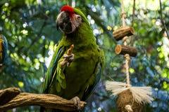 Papageienvogel 2 wild lebender Tiere Mexikos Yucatan stockfoto