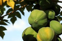 Papaia   Foto de Stock