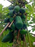 papaia Immagine Stock Libera da Diritti