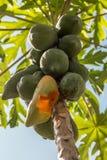 papaia fotografia stock libera da diritti