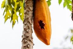 A papaia amadurecida na árvore foi puncionada fotos de stock royalty free