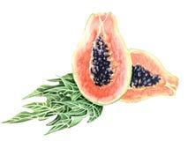 Papaia botanica dell'illustrazione dell'acquerello Immagine Stock Libera da Diritti