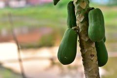 Papaia de Ásia no por do sol do jardim Fotografia de Stock