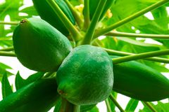 Papaia della papaia, albero, frutta Immagine Stock Libera da Diritti