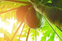 Papaia della papaia, albero, frutta Fotografia Stock