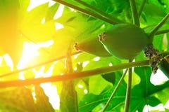 Papaia della papaia, albero, frutta Fotografie Stock Libere da Diritti