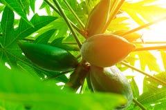 Papaia della papaia, albero, frutta Fotografie Stock