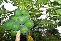 Papaia della papaia Fotografie Stock