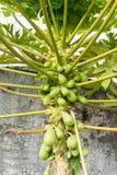 Papaia della papaia con i frutti Fotografie Stock Libere da Diritti