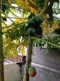 Papaia grezza Fotografie Stock
