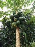Papaia, mamão, ou árvore de pawpaw imagem de stock