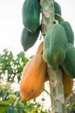 Papaia matura e cruda nell'agricoltura Tailandia Fotografia Stock Libera da Diritti