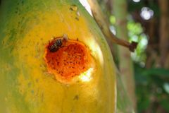 Papaia matura sull'albero Chiuda sulle tracce di insetto mangiano Fotografia Stock