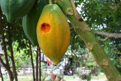 Papaia matura sull'albero Chiuda sulle tracce di insetto mangiano Fotografia Stock Libera da Diritti