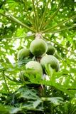 Papaia na árvore Fotos de Stock Royalty Free
