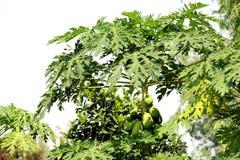 Papaia na exploração agrícola da árvore e da papaia imagens de stock royalty free
