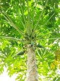 Papaia nova fresca com a árvore no fundo branco Imagens de Stock